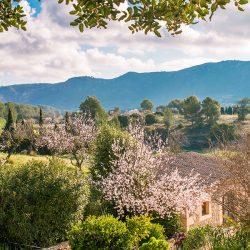 almond blossom fileds 250x250 - 9 Fotos que harán que quieras visitar Mallorca en Febrero